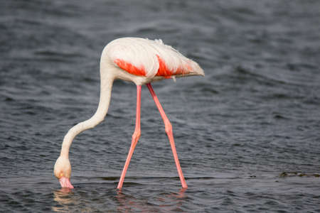 Lonaly pink famingo with long legs and yellow eyes in cold ocean water. Namibia.