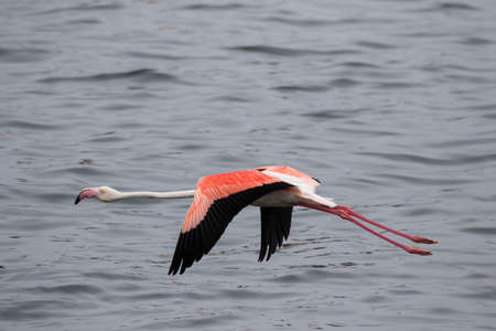 Lonaly pink famingo with long legs and yellow eyes escapes and takes off from danger in cold ocean water. Namibia.