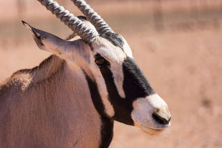 Gemsbok, also kinown as Oryx, with beautiful vertical horns and a distinct black and white pattern on its face and legs