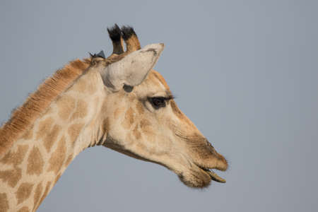 Closeup portrait of a curious giraffe over blue sky with long neck and big eyes looking at the camera. Namibia.
