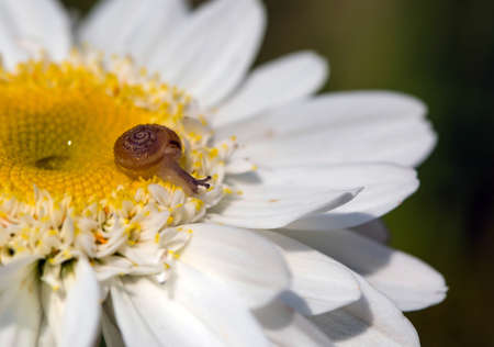 Macro photo of tiny baby brown snail sitting on the petal of camomile on sunny day after rain.