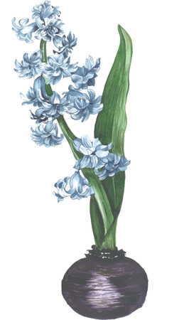 grower: Blooming purple hyacinth watercolor vector Illustration