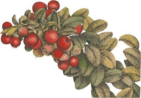 arandanos rojos: El vector de arándanos Aquarel Vectores