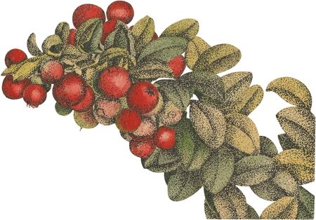 The Cranberries Aquarel vector Stock Illustratie