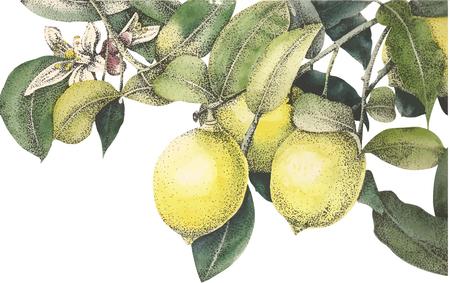 aquarel citroenen vector