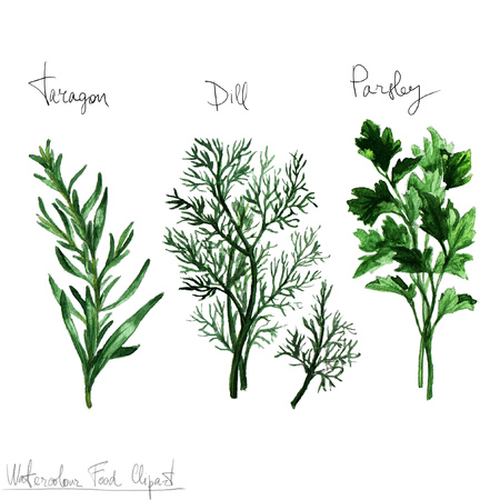 tarragon: Watercolor Food Clipart - Herbs