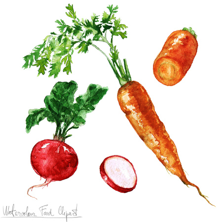 raw food: Watercolor Food Clipart - Carrot and Radish