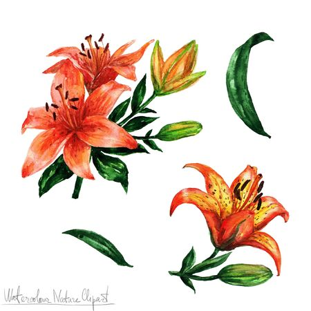tiger lily: Watercolor Nature Clipart - Flowers