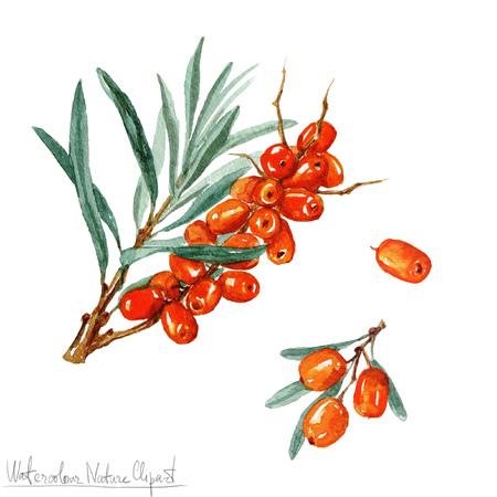 berries: Watercolor Nature Clipart - Sea Buckhorn Stock Photo