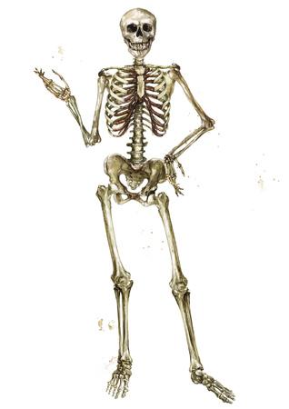 Human Skeleton. Watercolor Illustration. Stock Photo