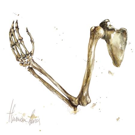 Human Bones. Watercolor Illustration.