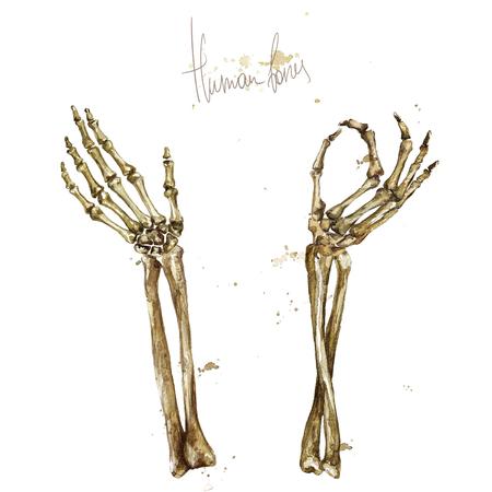 Human Bones. Watercolor Illustration. Standard-Bild - 97766765