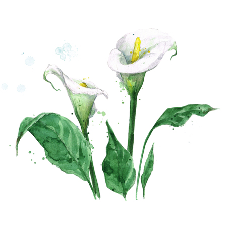 Calla lily. Watercolor Illustration. Stock Photo