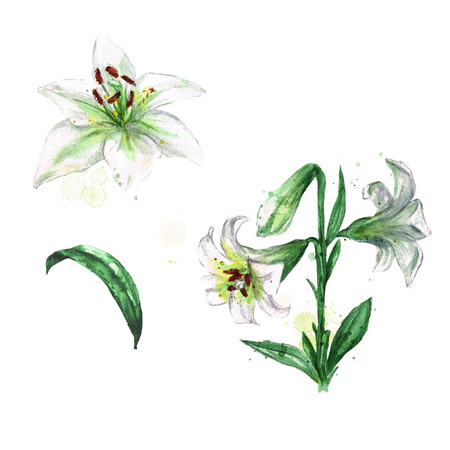 White lily. Watercolor Illustration. Stock Photo