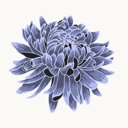 Blue chrysanthemum. Colored and lined chrysanthemum isolated flower 일러스트