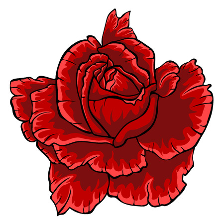Red rose isolated flower on white background.