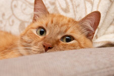 muzzle of a red cat lying on the sofa big eyes cute sweet gentle looking at the camera