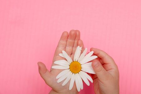 girl's hand tears off a petal of a camomile flower on a pink background view of saheru, copy place, fortune telling on a flower