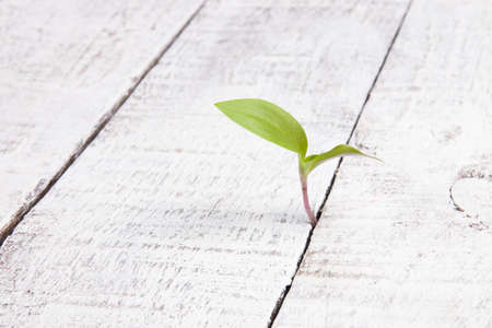 green little sprout grows through wooden boards, the concept of a new life, to overcome obstacles and achieve the desired, white background, aged boards, copy space, close-up