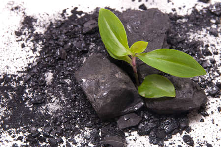sprout of a plant makes its way through coal, white background, new life concept, start all over again after failure, black coal and plant on a white background Stock Photo