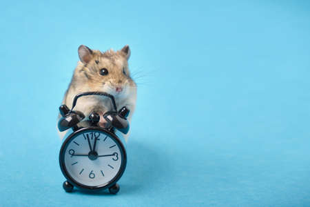 hamster and black alarm clock on blue background copy space Stockfoto