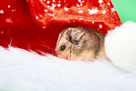 hamster and christmas hat on green background