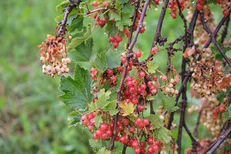 Redcurrant berries are growing in the summer garden. Close up. Bunch of berries with fresh green leaves. Banco de Imagens