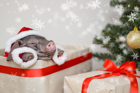 Christmas and new year card with cute newborn santa pig in gift present box. Decorations symbol of the year Chinese calendar. fir tree on background. Holidays, winter and celebration concept Stock Photo