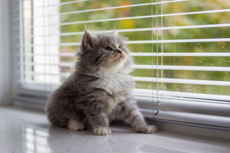 Grey Persian Little fluffy Maine coon kitten sits near door window and looking up . Newborn kitten, Kid animals and adorable cats concept.