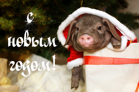 Christmas card with cute newborn santa pig in gift present box. Decorations symbol of the year Chinese calendar. fir background. Russian text happy new year. Holidays, winter and celebration concept