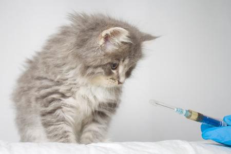 Veterinario dando inyección a gris persa poco esponjoso Maine coon kitte en clínica veterinaria Cat mira a la jeringa. - Concepto de medicina, mascotas, animales, vacunación y alergia. Foto de archivo