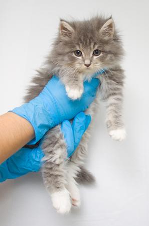 Gatito gris persa poco esponjoso de Maine coon en clínica veterinaria y manos en guantes azules Cat mira a la cámara. Espacio para texto: concepto de medicina, mascotas, animales, vacunación y alergia