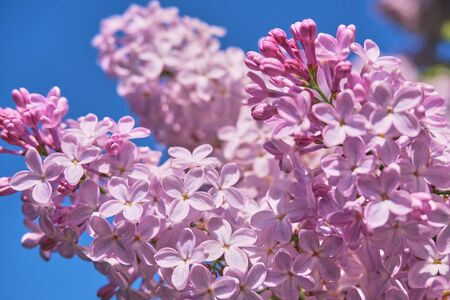 Floral background made of blooming lilacs. Macro view of purple blossom bush. Five petal flower lilac. Springtime and summer concept. Space for text