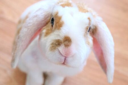 Cute little orange and white color bunny with big ears. rabbit on white background. Nose close up - animals and pets concept