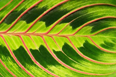 Pink stripes on palm leaf. Abstract green texture background. Floral and tropical concept.