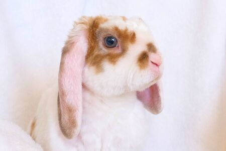 Cute little orange and white color bunny with big ears. rabbit on white background - animals and pets concept