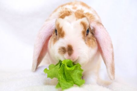 Cute little orange and white color bunny with big ears eats green leaf. rabbit on white background - animals and pets concept