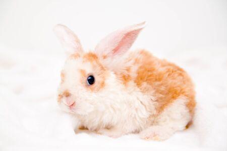 Süßes kleines orange-weißes Häschen mit großen Ohren. Kaninchen auf weißem Hintergrund. Tiere und Haustiere Konzept