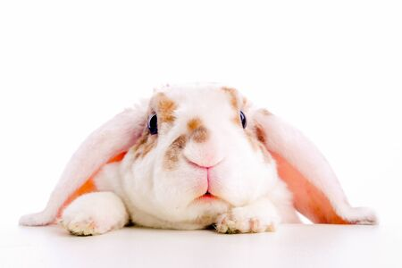 Cute little orange and white color bunny rabbit rabbit peeps out from behind a table on white background.