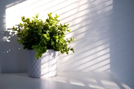 Plant in ceramic pot with Light and shadow, minimalism concept . Greening home with Houseplants. Copyspace. Eco lifestyle