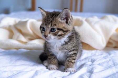 Small striped kitten sitting on bed white light blanket. Concept of domestic adorable pets. 版權商用圖片