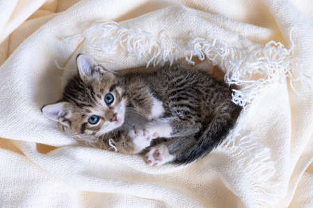 Cute striped kitten lying covered white light blanket on bed. Looking at camera. Concept of adorable pets