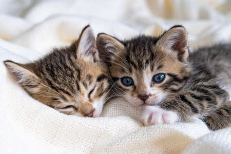Two Small striped kittens sleeping on bed white light blanket. Concept of domestic adorable pets.