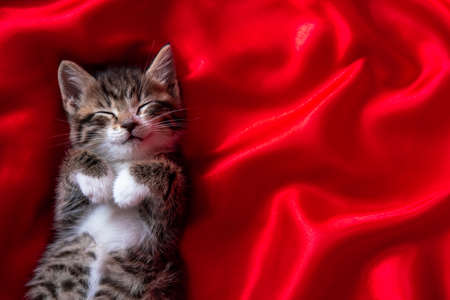 adorable smiling striped kitten lying on back sleeping over red textile. Cute pets cats, valentines and Christmas card.