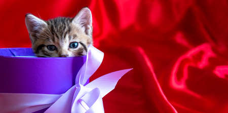 Banner with place for text. Striped kitten peeks out of the gift box on red background. Birthday and holiday.