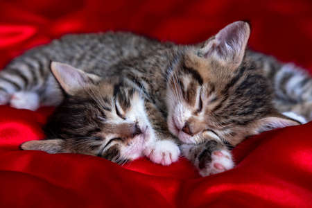 Two adorable striped kitten lying sleeping on red blanket. Cute pets cats, valentines and Christmas card.