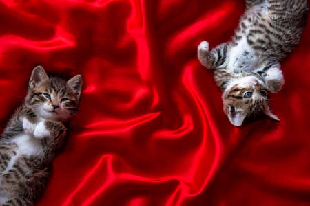 two adorable smiling striped kittens lying on back sleeping over red textile. Cute pets cats, valentines and Christmas card. Copyspace.