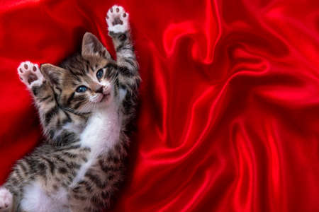 adorable smiling striped kitten lying on back Paws up over red textile. Looking at camera. Copyspace. Cute pets cats, valentines and Christmas card