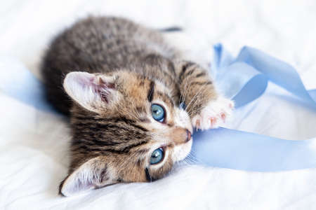 little striped playful kitten playing blue ribbon on bed at home. Looking into the camera. Healthy adorable domestic pets and cats