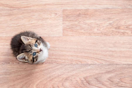 Kitten waiting for food. Little striped cat siting on wooden floor, licking and looking up at camera